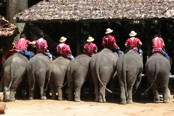 Elephants at a Chiang Mai elephant camp - Copyright spotter_nl, Creative Commons License