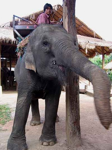 Thai elephant at an elephant camp for tourists in Chiang Mai.