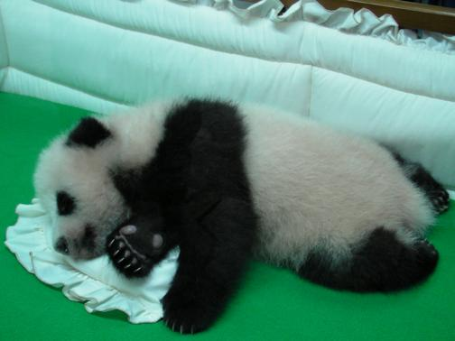 lin bing baby panda at chiang mai zoo