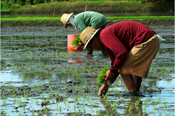 Farmers planting rice - photo copyright IRRI Images, Creative Commons License