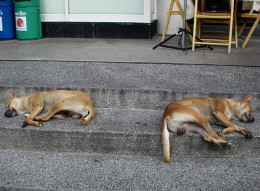 Sleeping dogs outside a 7-11 in Bangkok. Don't they say 'let sleeping dogs lie'? I wish the PAD would do the same thing for the government - leave them alone and let them do their job.