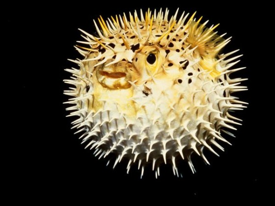 The pufferfish is proving to be dangerous on some Thai dinner plates
