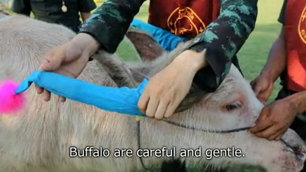 buffalo therapy autistic kids thailand