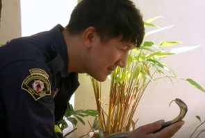 Thai firefighter catches snakes with his bare hands, even poisonous ones