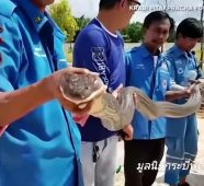 4-meter long King Cobra captured in Krabi housing estate sewer (video)